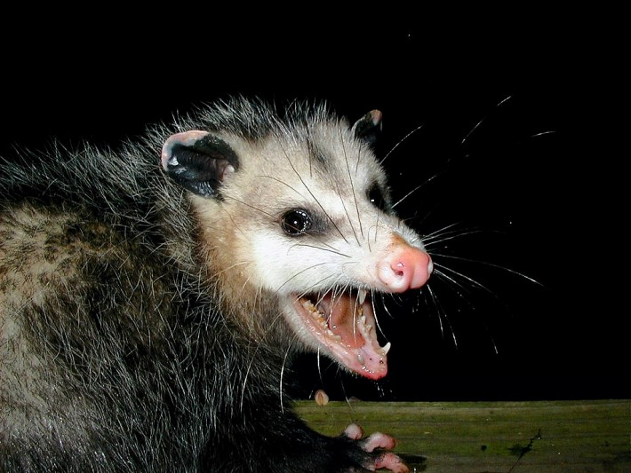 opossum and lyme disease