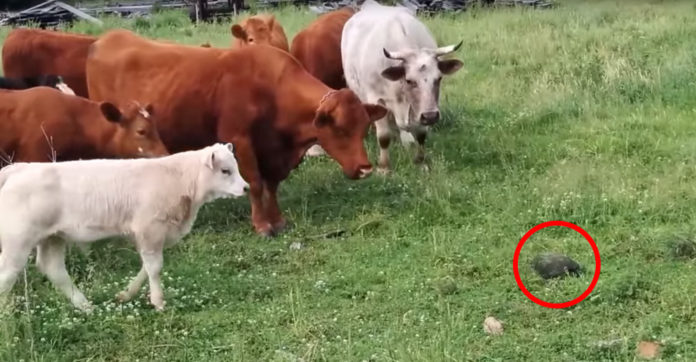 baby cow decides to investigate strange rock on the