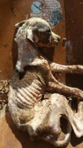 starving dog found