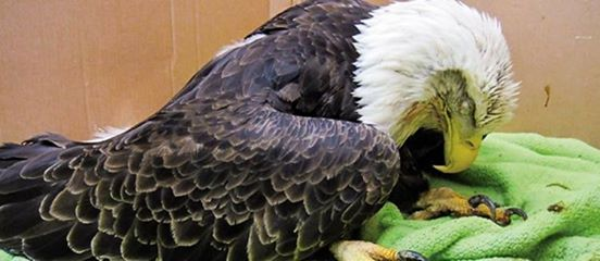paralyzed bald eagle