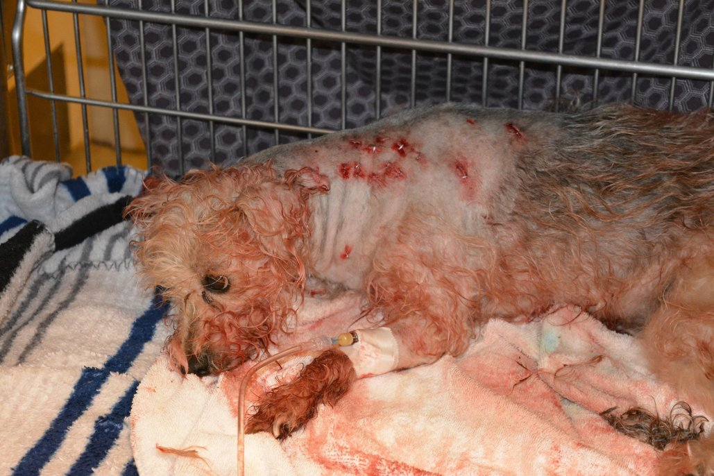 dog stabbed 19 times