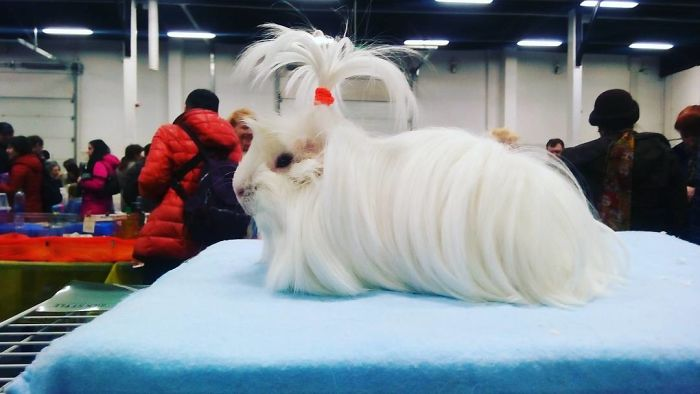 10 Guinea Pigs With The Most Majestic Hair Ever Photos