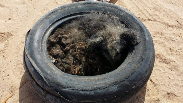 dog in a tire
