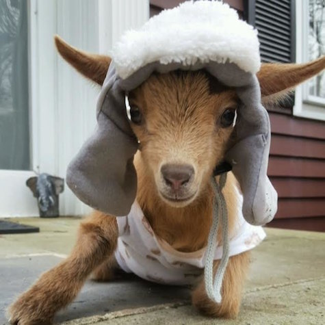 Monster Burns Off This Baby Goat S Horns But Rescuers