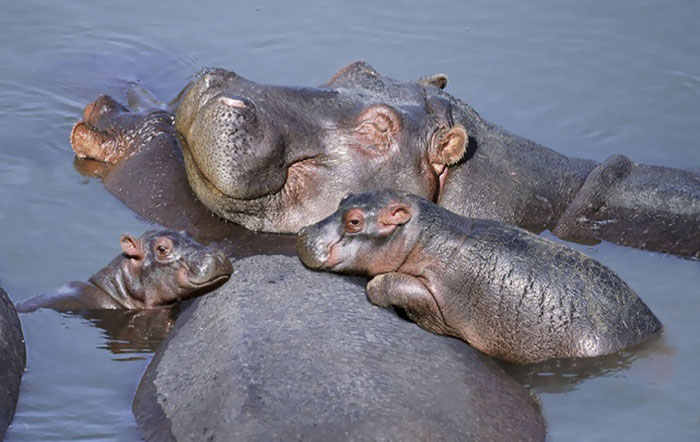 Photos Of Baby Hippos That Will Make Everything Better