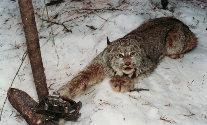 lynx trapped