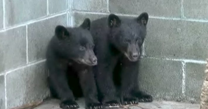 officer and bear cubs