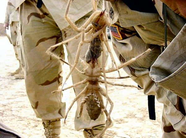 Here S Why Camel Spiders Are The Scariest Creatures On