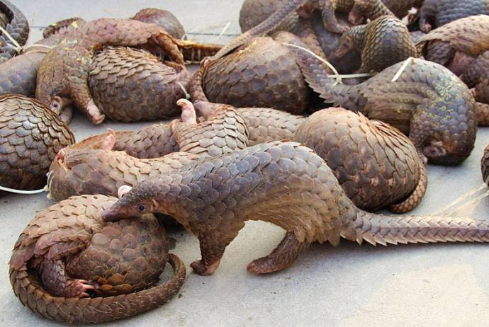 rescued pangolins