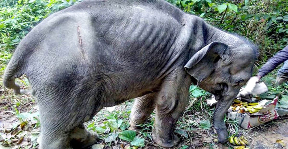 when rescuers find a starving baby elephant  they soon