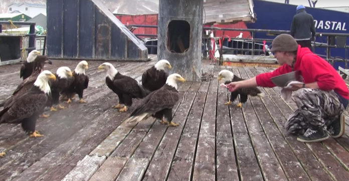 Fisherman Is Feeding A Huge Flock Of Bald Eagles — Then