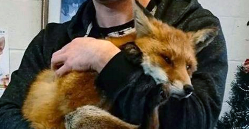 Man Slowly Approached An Injured Fox And Within 20 Minutes