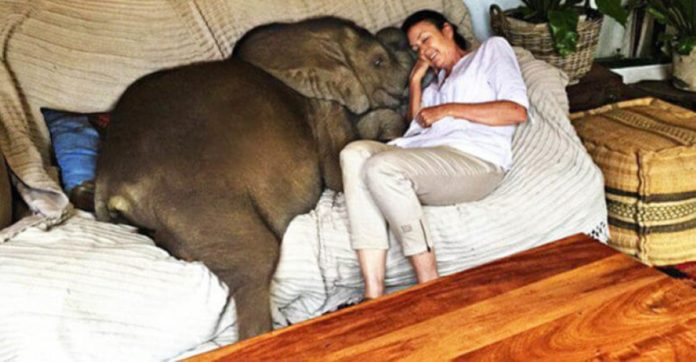 Rescued Baby Elephant Loves His Human Mom So Much He Won't