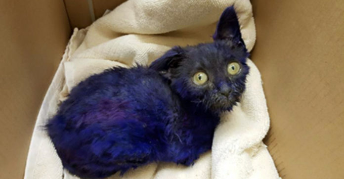 Kitten That Was Dyed Purple And Used As Dog-Fighting Bait