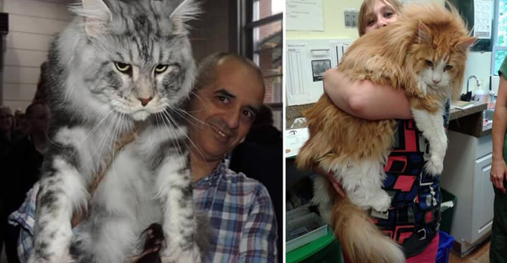 10 Pictures That Prove That Maine Coon Cats Are Massive