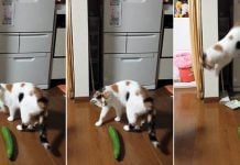 why are cats scared of cucumbers