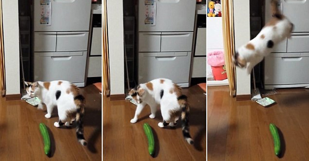 Cats And Cucumbers  Why Are Cats Afraid Of Cucumbers