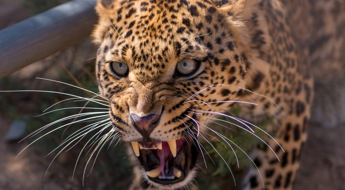 leopard decapitates 3 year old