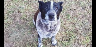 elderly dog stay with 3 year old lost