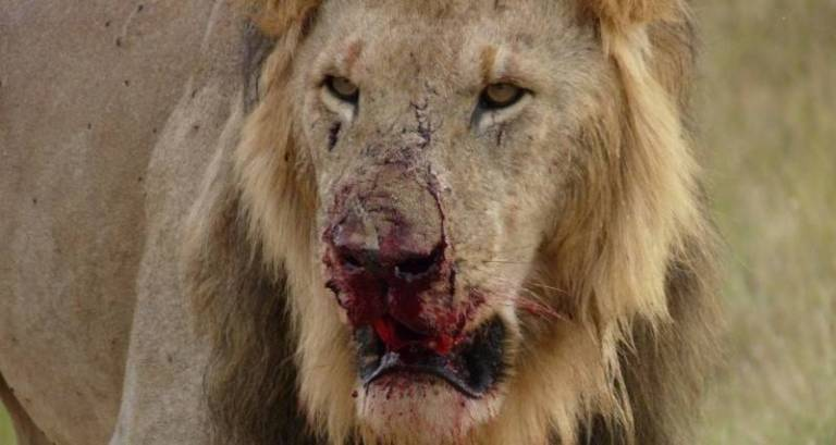 Pride Of Lions Eats 3 Rhino Poachers Alive In South African Game Reserve
