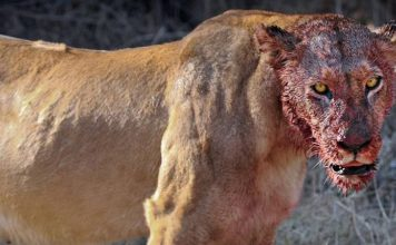 Lions Eats 3 Rhino Poachers