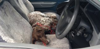 dog dies locked unventilated car