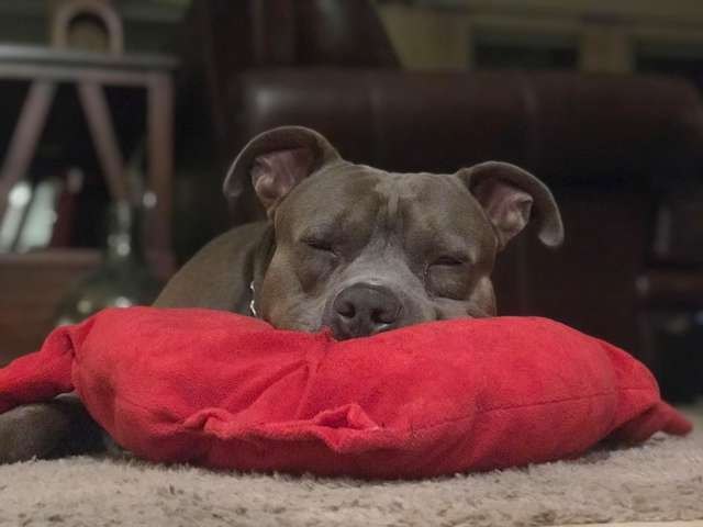 dog accidentally rip favorite pillow