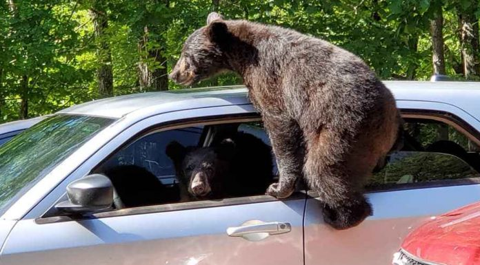 family of bears Steal car