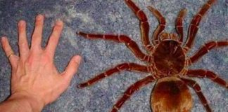 largest tarantula goliath birdeater