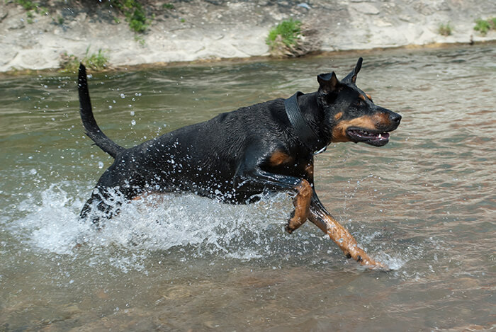 black doberman running through the water