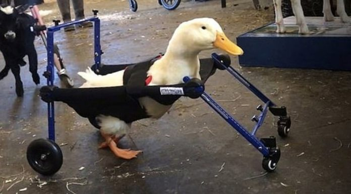 disabled duck
