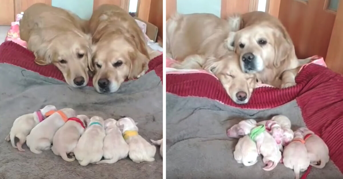 Golden Retriever Mom And Dad Watching Over Their Newborn Pups